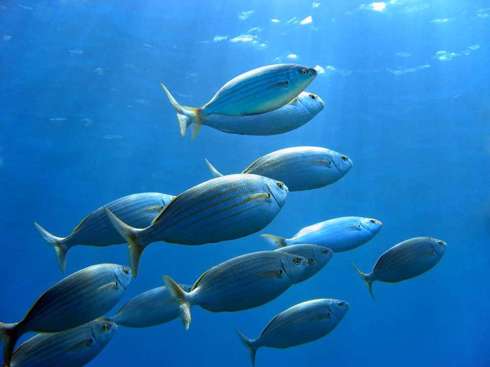 Fischschwarm_Mittelmeer